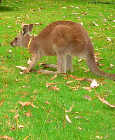 Local Kangaroo - Kangaroo Valley is known for its unique healing powers and good Feng Shui. The curative powers are attributed to mineral springs and its mineral properties, clean air, pure water, thermal effects and some mystical qualities